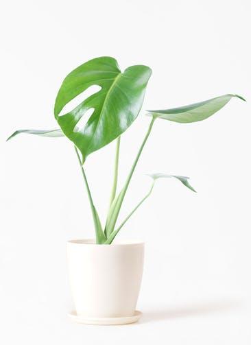 観葉植物 モンステラ 4号 ボサ造り ラスターポット 付き