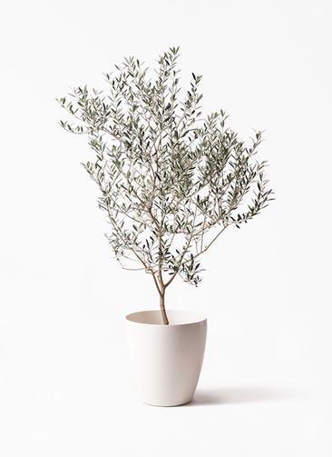 観葉植物 オリーブの木 8号 カヨンヌ ラスターポット 付き
