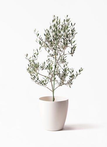 観葉植物 オリーブの木 8号 ルッカ ラスターポット 付き