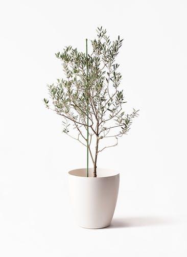 観葉植物 オリーブの木 8号 カリフォルニアクイーン ラスターポット 付き
