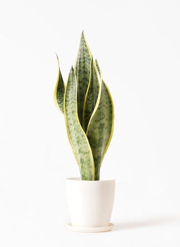 観葉植物 サンスベリア 4号 トラノオ ラスターポット 付き