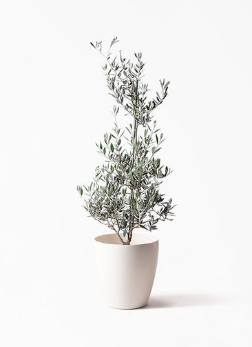 観葉植物 オリーブの木 8号 ピクアル ラスターポット 付き