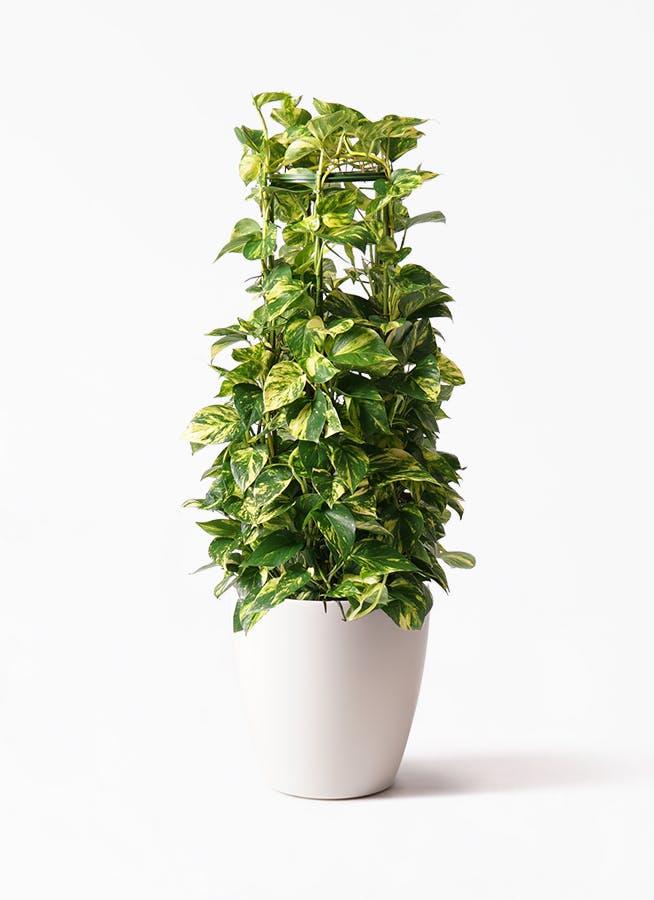 観葉植物 ポトス 8号 ラスターポット 付き