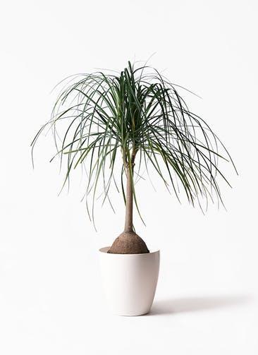 観葉植物 トックリヤシ 10号 ラスターポット 付き