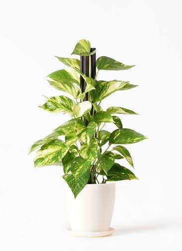 観葉植物 ポトス 4号 ラスターポット 付き
