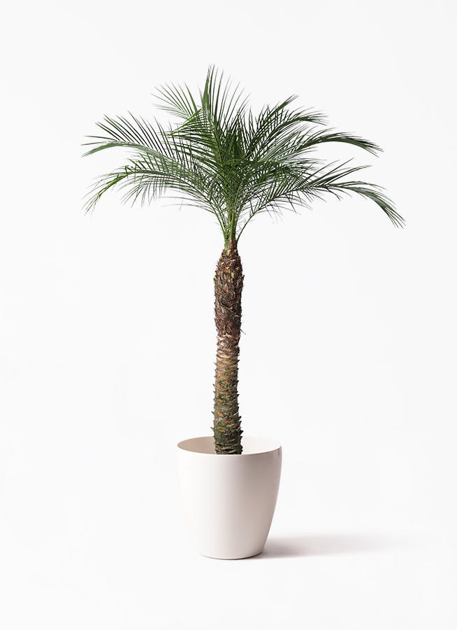 観葉植物 フェニックスロベレニー 8号 ラスターポット 付き