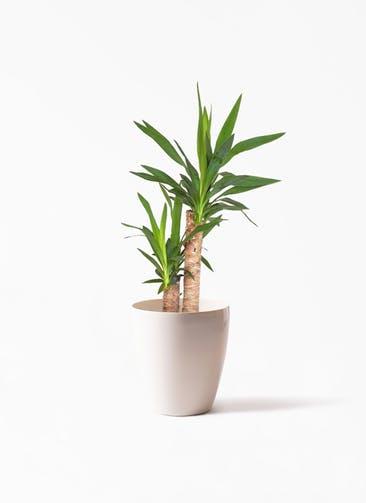 観葉植物 ユッカ 6号 ノーマル ラスターポット 付き