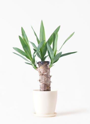 観葉植物 ユッカ 4号 ノーマル ラスターポット 付き