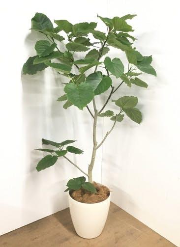 観葉植物 【180cm】フィカス ウンベラータ 10号 #22732 B