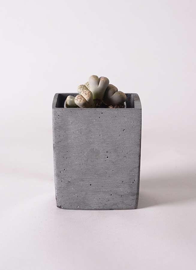 リトープス 灰色 3号 ポリストーンキューブSブラック 付き