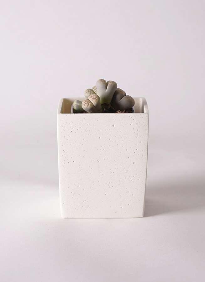 リトープス 灰色 3号 ポリストーンキューブSホワイト 付き