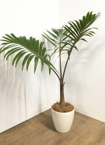 観葉植物 【140cm】トックリヤシ 8号 #22861