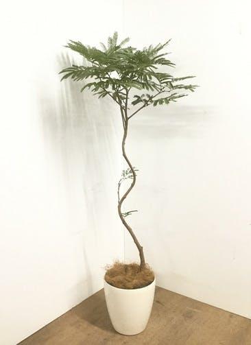 観葉植物 【160cm】 エバーフレッシュ 8号 #22903