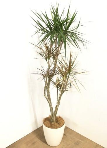 観葉植物 【170cm】 ドラセナ コンシンネ レインボー 8号 #22906