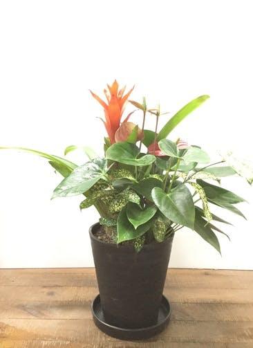 観葉植物 【60cm】アンスリウム 寄せ植え #22918