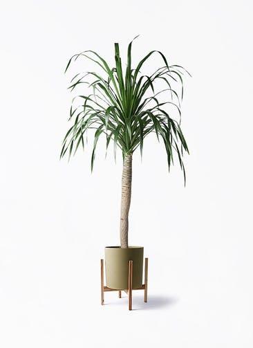 観葉植物 ドラセナ ドラコ 8号 ホルスト シリンダー オリーブ ウッドポットスタンド付き