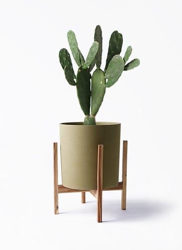 観葉植物 ウチワサボテン 8号 ホルスト シリンダー オリーブ ウッドポットスタンド付き
