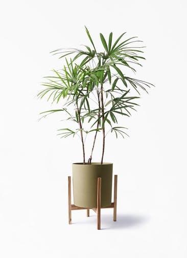 観葉植物 シュロチク(棕櫚竹) 8号 ホルスト シリンダー オリーブ ウッドポットスタンド付き