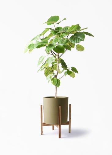 観葉植物 フィカス ウンベラータ 8号 ノーマル ホルスト シリンダー オリーブ ウッドポットスタンド付き