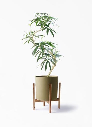 観葉植物 シェフレラ アンガスティフォリア 8号 曲り ホルスト シリンダー オリーブ ウッドポットスタンド付き