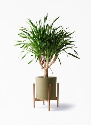 観葉植物 ドラセナ パラオ 8号 ホルスト シリンダー オリーブ ウッドポットスタンド付き