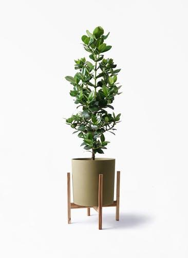観葉植物 クルシア ロゼア プリンセス 8号 ホルスト シリンダー オリーブ ウッドポットスタンド付き