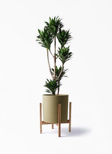 観葉植物 ドラセナ コンパクター 8号 ホルスト シリンダー オリーブ ウッドポットスタンド付き