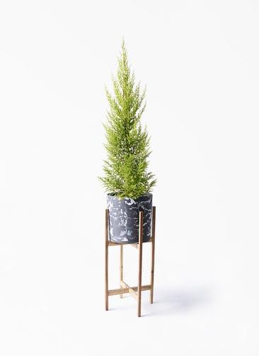 観葉植物 ゴールドクレスト 6号 ノーマル ホルスト シリンダー マーブル ウッドポットスタンド付き