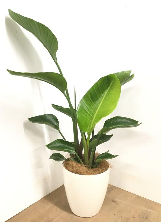 観葉植物 【120cm】 オーガスタ 8号 #22946