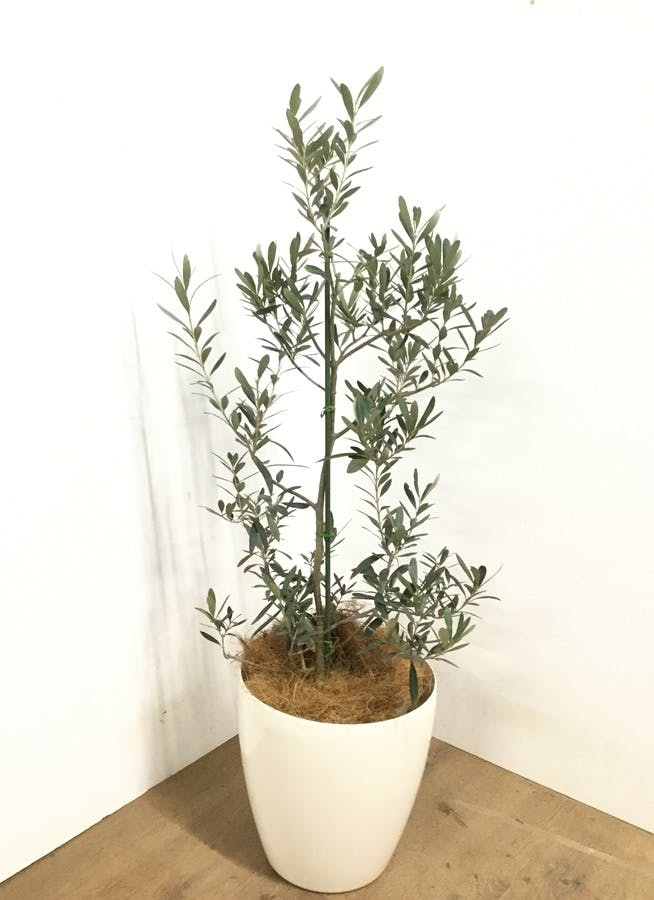 観葉植物 【120cm】  オリーブの木  8号 チプレッシーノ #22952