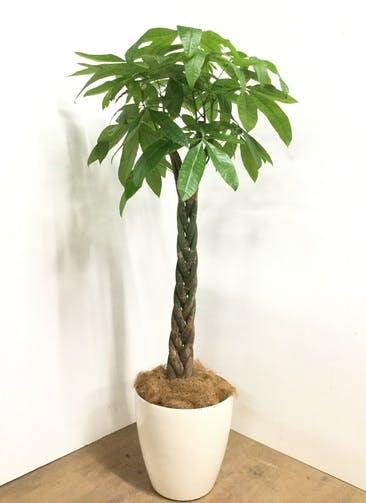 観葉植物 【160cm】パキラ 10号 #22978