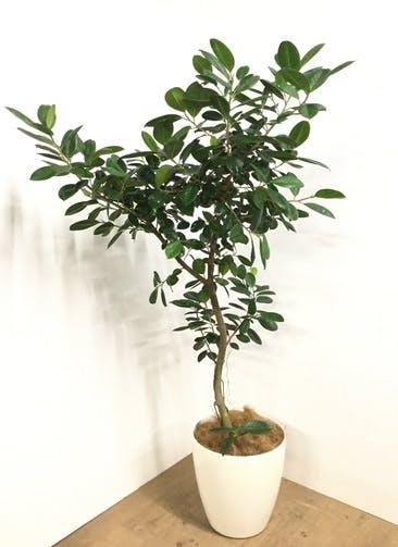 観葉植物 【170cm】フィカス ジャンボリーフ 9号 #22984