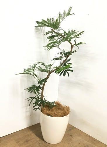 観葉植物 【130cm】 エバーフレッシュ 8号 #23005