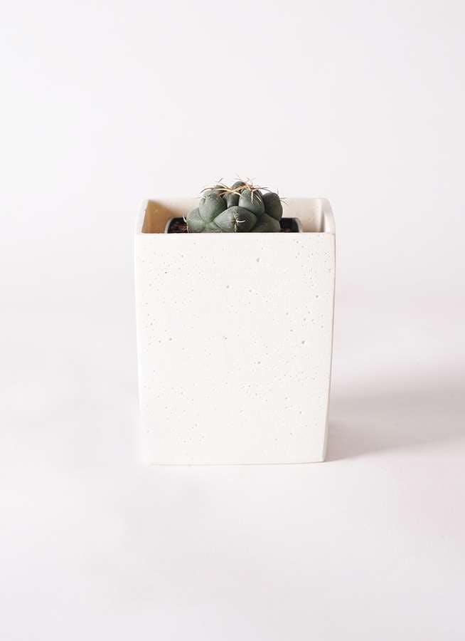 サボテン コリファンタ 象牙丸(ぞうげまる) 3号 ポリストーンキューブSホワイト 付き