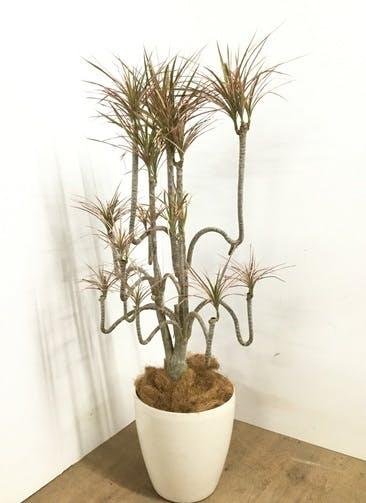 観葉植物 【100cm】 ドラセナ コンシンネ レインボー 8号 #23094