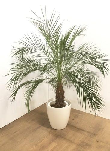 観葉植物 【130cm】 フェニックスロベレニー 8号 #23106