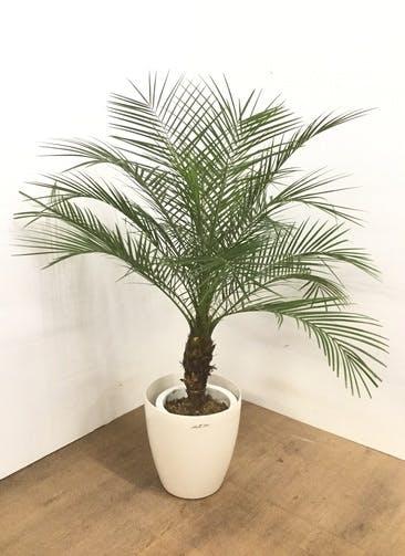 観葉植物 【130cm】 フェニックスロベレニー 8号 #23107