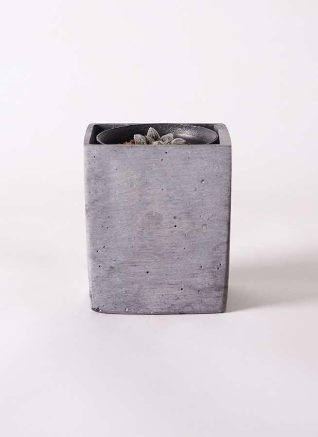 ハオルチア 軟葉系 灰 実生選抜 3号 ポリストーンキューブSブラック 付き
