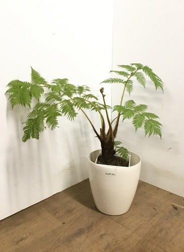 観葉植物 【80cm】 ヘゴ 8号 #23145