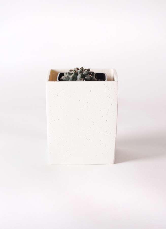 ギムノカリキウム 緋花玉(ひかだま) 3号 ポリストーンキューブSホワイト 付き