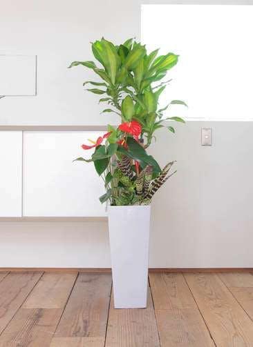 観葉植物 ドラセナ 幸福の木 8号 寄せ植え 角高陶器