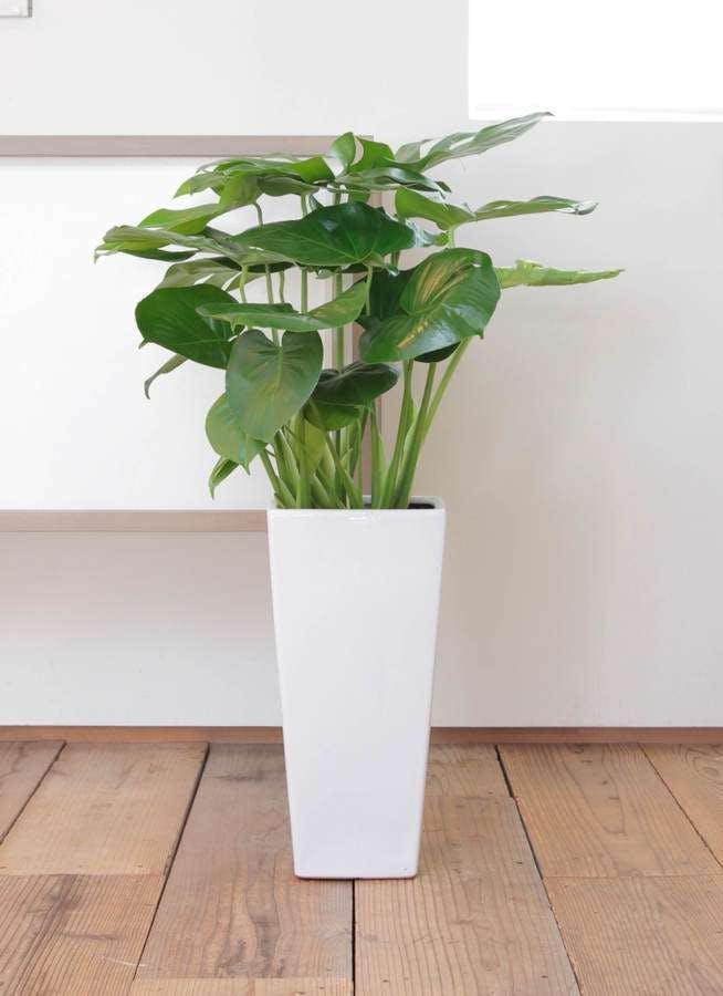 観葉植物 モンステラ 8号 ボサ造り 角高陶器