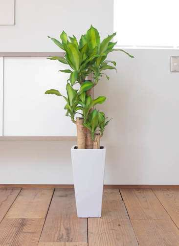 観葉植物 ドラセナ 幸福の木 7号 ノーマル 角高陶器