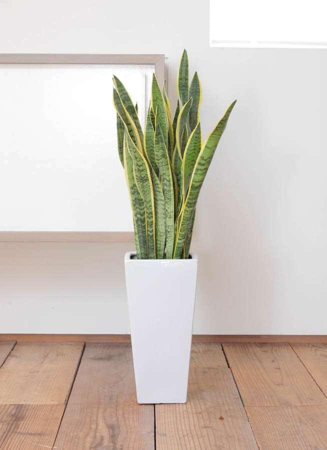 観葉植物 サンスベリア 7号 トラノオ 角高陶器