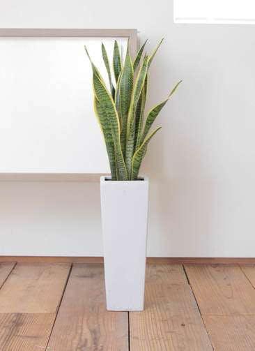 観葉植物 サンスベリア 7号 トラノオ 角陶器ロング