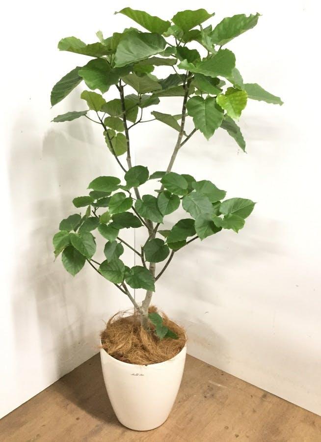 観葉植物 【160cm】 フィカス ウンベラータ 10号 #23205
