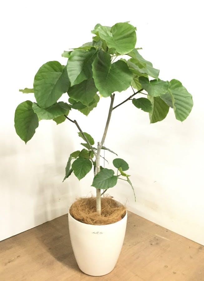 観葉植物 【120cm】 フィカス ウンベラータ 8号 #23293