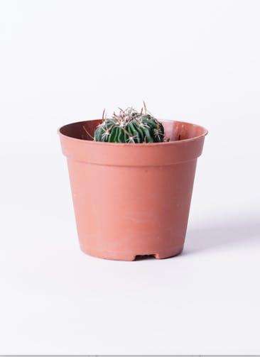 サボテン エキノフォスロカクタス 縮玉(ちぢみだま) 3号 プラスチック鉢