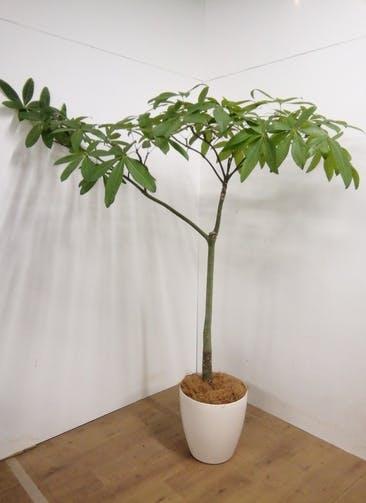 観葉植物 【186cm】 パキラ 10号 #23316 ※1都3県配送限定商品