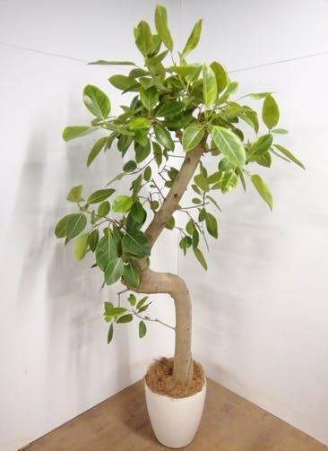 観葉植物 【228cm】 フィカス アルテシーマ 12号 #23320 ※1都3県配送限定商品